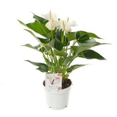Цветок Anthurium Wit