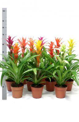 Цветы Guzmania Gemengd