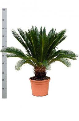 Комнатное растение Cycas Revoluta 18+