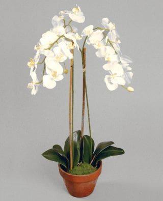 Орхидея( фаленопсис)