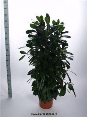 Фикус бокальчатоприлистниковый (Ficus cyathistipula) фото