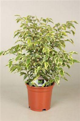 Фикус Бенджамина Саманта (Ficus Samantha) фото