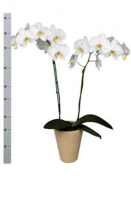 Орхидея фаленопсис Грандифлора (Phalaenopsis Grandiflora) фото