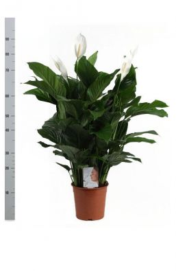 Спатифиллюм (Spathiphyllum Sweet Lauretta) фото