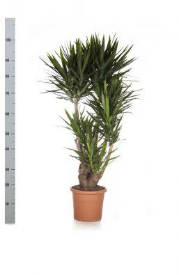 Юкка (Yucca) фото