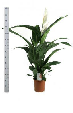 Спатифиллум Сенсация (Spathiphyllum Sensation) фото