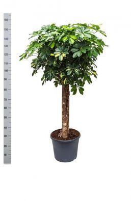 Schefflera Trinette Vlechtstam Ex