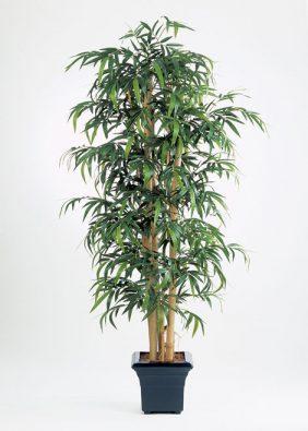 Бамбук Новый гигантский