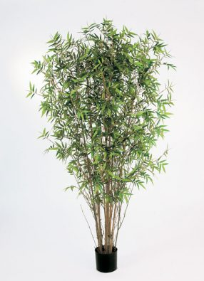 Бамбук Японский ориенталь