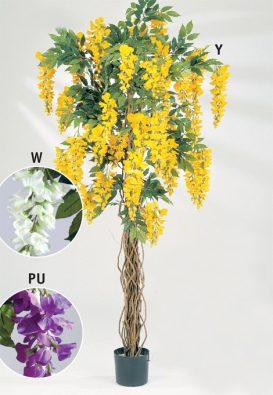 Вистерия лиана жёлтая