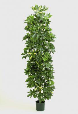 Шеффлера колонновидная пестрая 180 см
