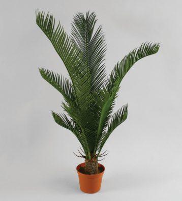 Кокосовая пальма 60 см