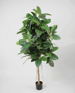 Каучуковое дерево