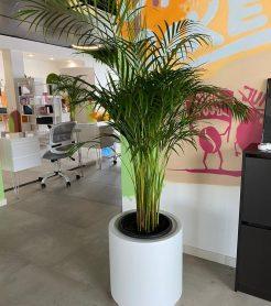 Оформление офисного помещения изящными пальмами в цилиндрической кашпо.